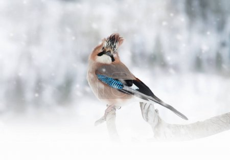 Eurasian Jay perching on the tree branch while snowing during cold winter.