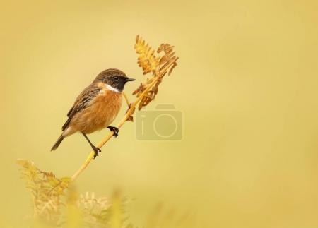 European stonechat perching on a fern branch against clear background, UK.