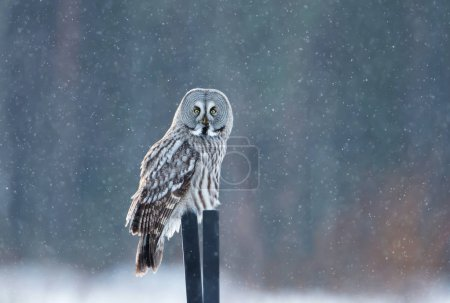 Great grey owl sitting on the post in the falling snow, winter in Finland