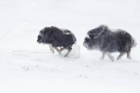 Musk Ox cubs chasing each other in winter in the mountains of Dovrefjell in Norway.