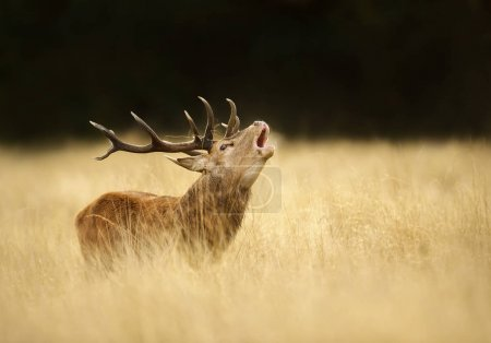Red deer stag roaring during the rut in autumn, UK