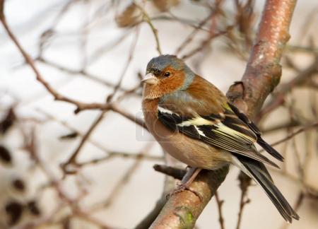 Common chaffinch perching in a tree in a natural habitat in autumn.