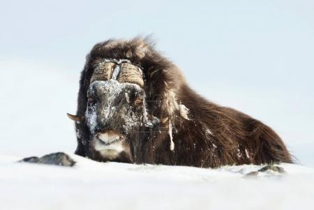 Close up of a musk ox with frosted hair lying on snow on a very cold winter day in Norway.