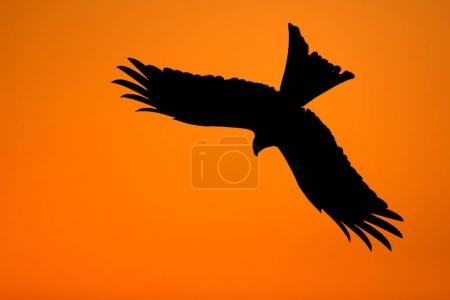 Silhouette of a red kite (Milvus milvus) at sunset, Chilterns, Oxfordshire, UK.