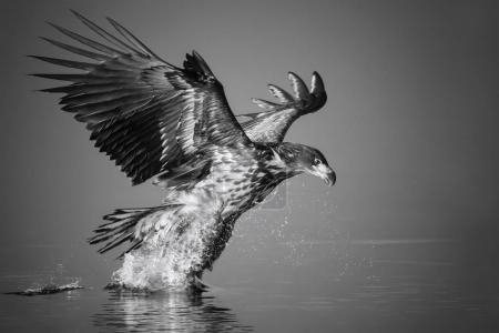 White-tailed Eagle catches the fish in black and white