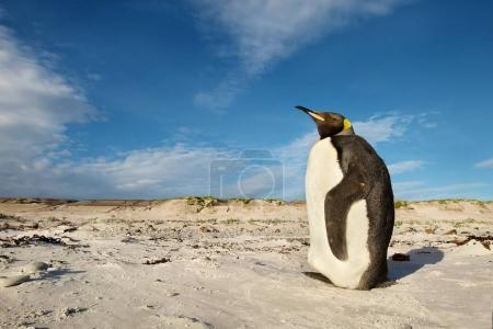 Juvenile king penguin standing on a sandy beach