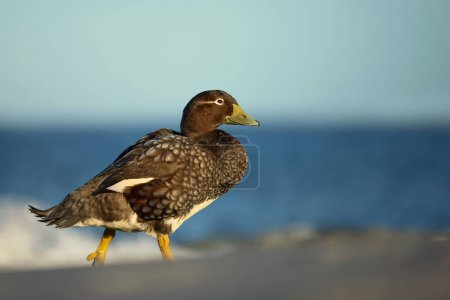 Falkland steamer duck walking on a sandy beach