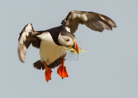 Atlantic puffin in flight with nesting material in the beak