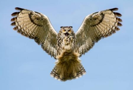 Eurasian Eagle-owl in flight with a catch.
