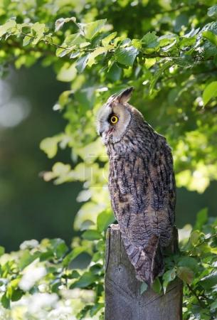 Long-eared owl perching on a post