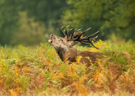 Close up of a Red deer roaring during rut, UK.