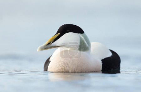 Close up of a male common eider, Norway.