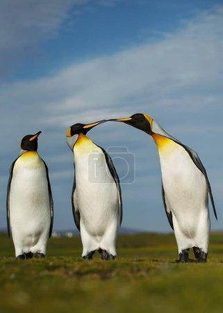 Three King penguins displaying aggressive behavior during mating