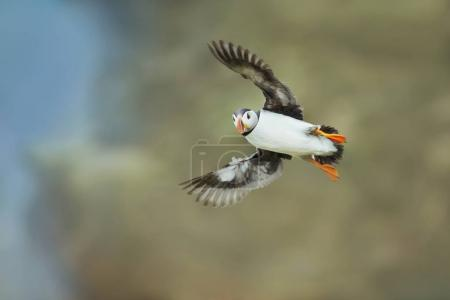 Atlantic Puffin in flight, Noss, Shetland Islands