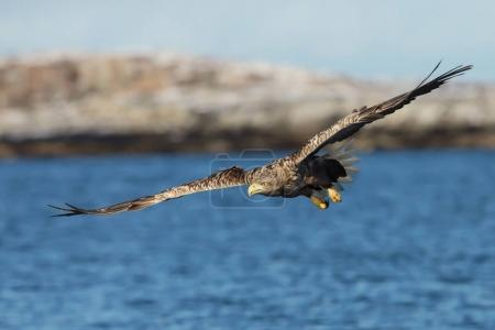 Close up of a White-tailed sea Eagle in flight