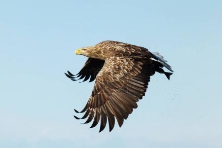 White-tailed sea Eagle in flight with a fish in the claws