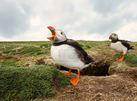 Atlantic puffin calling next to a burrow
