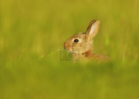 Portrait of an European rabbit eating the blade of grass