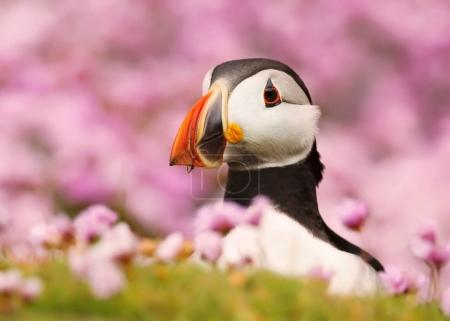 Close up of Atlantic puffin standing in the field of thrift