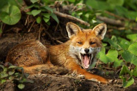 Photo pour Gros plan d'un renard roux, le bâillement dans son habitat naturel, Angleterre, Royaume-Uni. - image libre de droit