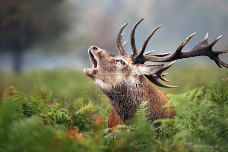 Close-up of a Red deer roaring during the rut in a...