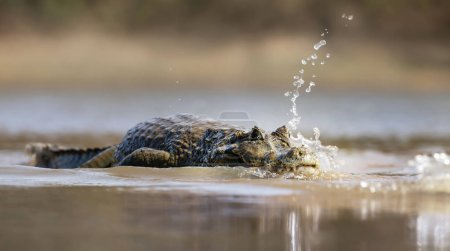 Photo for Close up of a Yacare caiman (Caiman yacare) in water, South Pantanal, Brazil. - Royalty Free Image