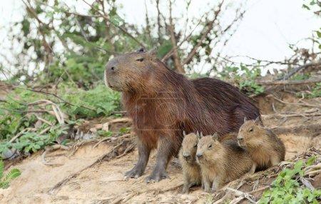 Photo pour Gros plan de la mère Capybara avec trois petits assis sur une rive de rivière, Pantanal Nord, Brésil . - image libre de droit