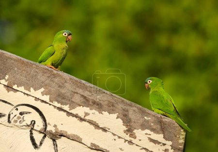 Close up of two yellow-chevroned parakeets perched on a wooden fence, Pantanal, Brazil.