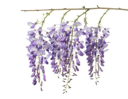Photo pour Fleurs de glycine isolées sur blanc - image libre de droit