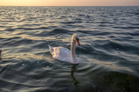 Photo for Beautiful view on a swan on sea - Royalty Free Image