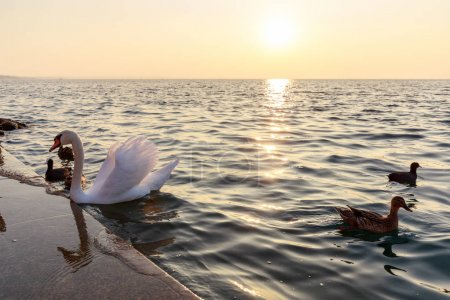 Photo for Beautiful view on swan and ducks on sea - Royalty Free Image