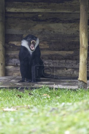 Photo for View of monkey yawning near the small wooden hut - Royalty Free Image