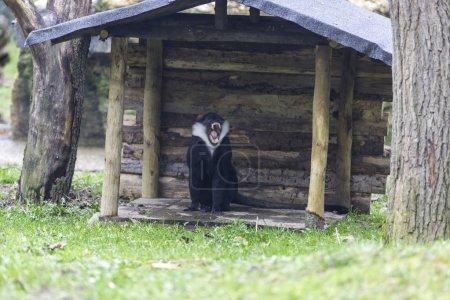 Photo pour Vue du bâillement des singes près de la petite cabane en bois - image libre de droit