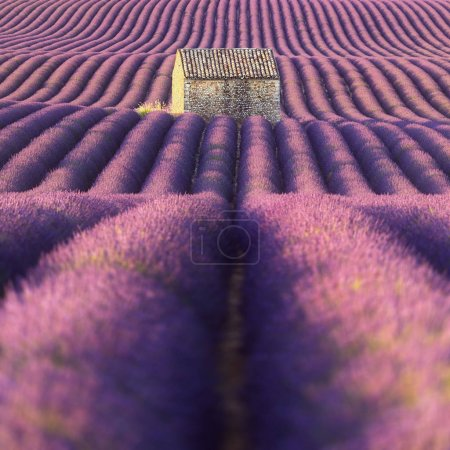 Lavender field in Provence (France)