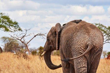 Elephant with baby drinking water in tanzania safari tusk
