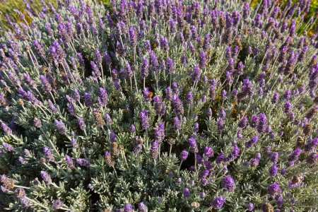 French Lavender flowers (Spanish lavender, topped lavender) blossoming in Red-necked, Red necked, red neck, wallaby, grooming, lick, cleaning, standing, forest, ground, sun, afternoon, Tasmania, Australia, cute, young, Eucalyptus, paw, Tasmanian, mac