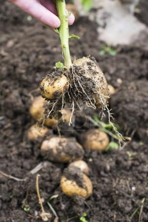 Digging of ripe potatoes