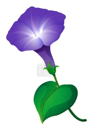 Morning glory flower in purple color on white