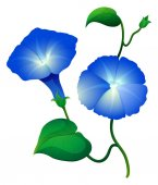 Morning glory flowers in blue color