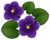 African violet flowers and green leaves
