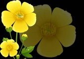 Yellow buttercup flowers with black background