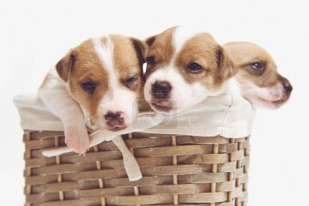 Cute puppies in a basket isolated on white background