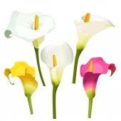 Collection of coloured arum lilies on white Zantedeschia calla lily