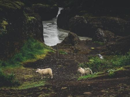 two sheep near river with green moss rocks in Iceland