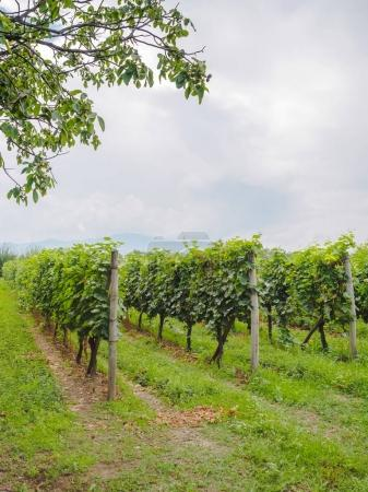 Photo for Beautiful green vineyard with rows of plants in georgia - Royalty Free Image