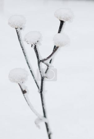 Close-up view of dry plant covered with snow