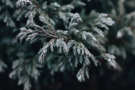 green twig covered with hoarfrost, closeup