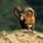 Ovis musimon. Beautiful nature. Wild nature of Cze...