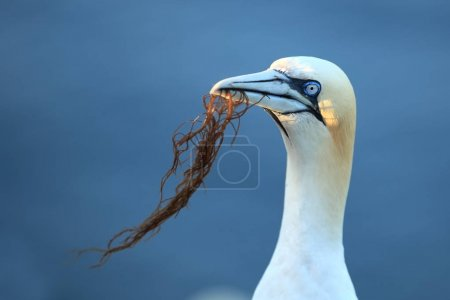 Photo pour Morus bassanus. Helgoland. Photographed in the North Sea. The wild nature of the North Sea. Bird on the Rock. Northern Gannet. The North Sea. - image libre de droit
