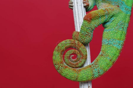 Photo for Alive chameleon reptile sitting on branch. macro studio shot of reptile tail on red background. copy space. - Royalty Free Image